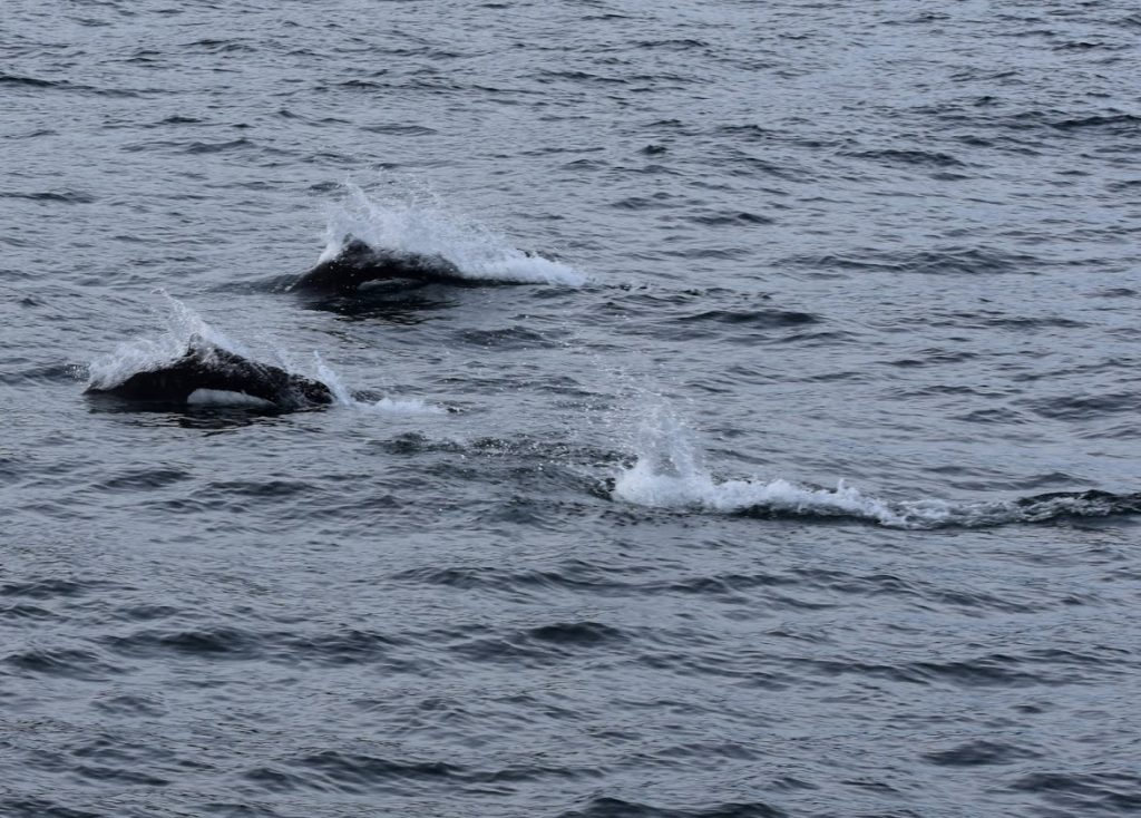 Dolphins follow the boat as we cruise back to resurrection bay