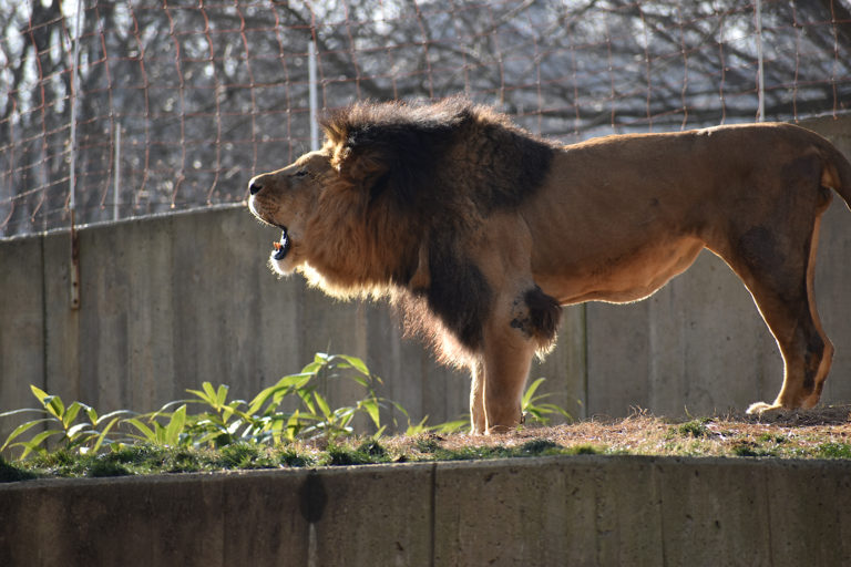 Nothing can truly capture a lion's roar.