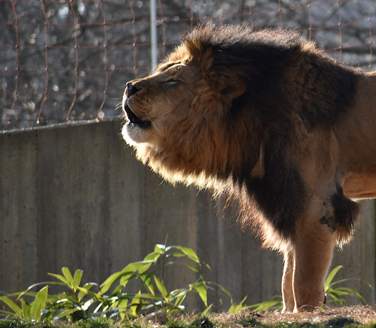 The roaring lasted for a good minute straight and other animals defiantly noticed!